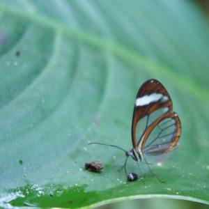 costa rica butterfly - clear wings