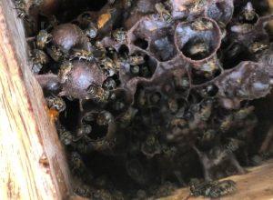 jicote barcino hive